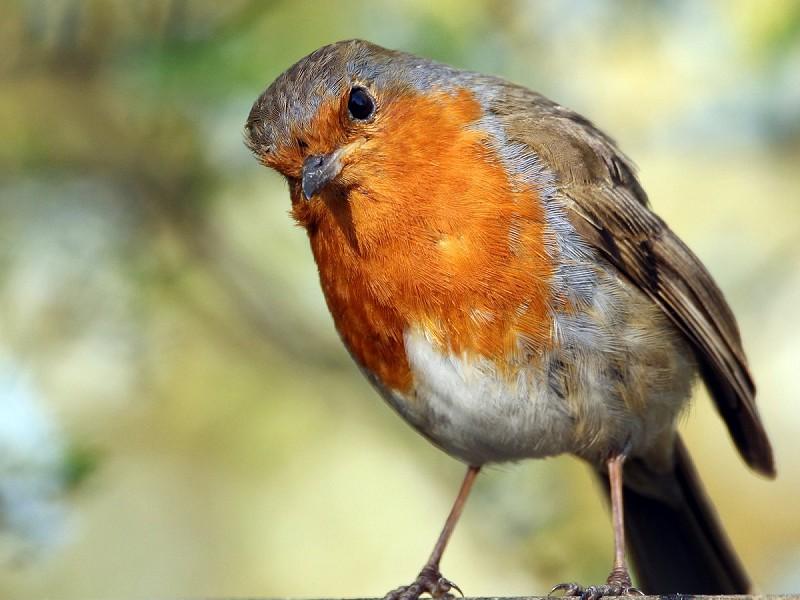 Everyone's festive psychopath - the robin