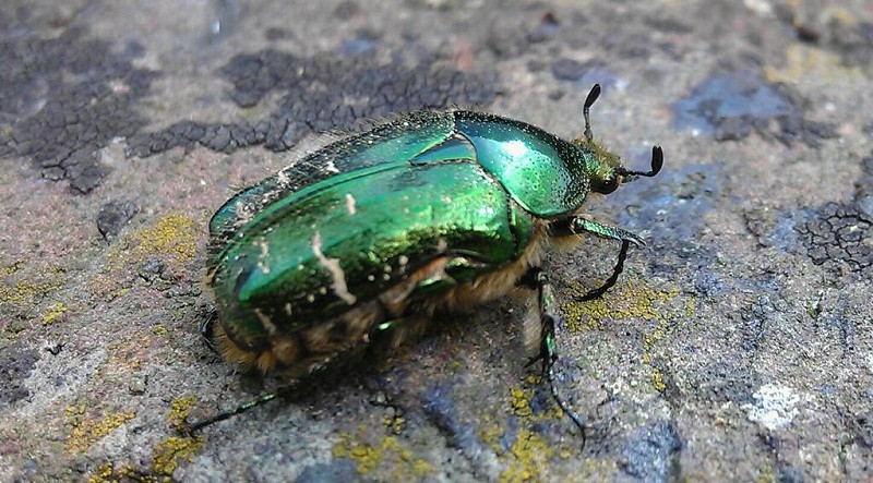 A rose chafer by any other name