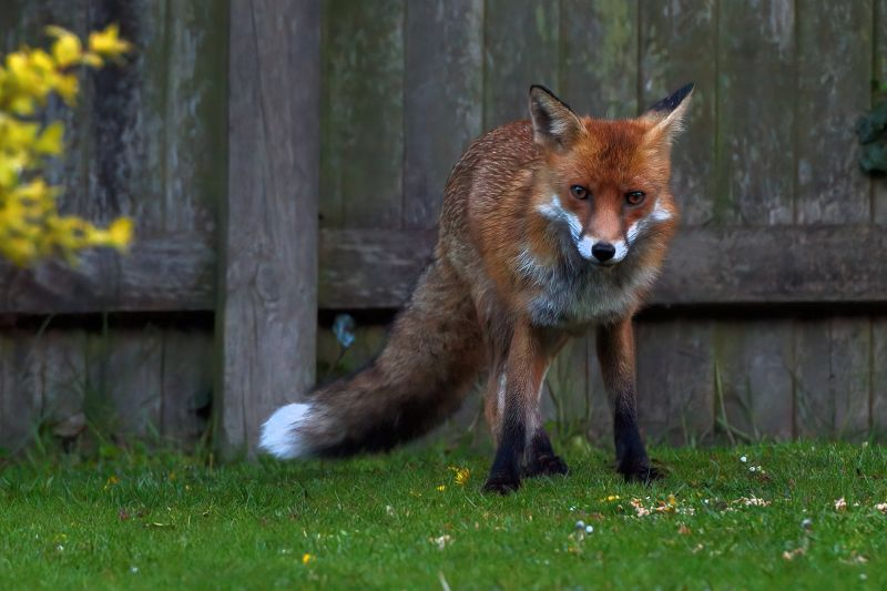 The Pongtastic Mr Fox