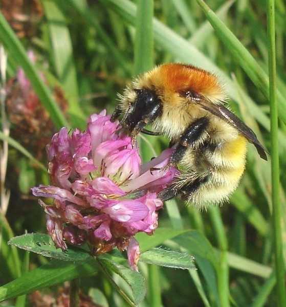 Management for Bumblebees at Rye Harbour