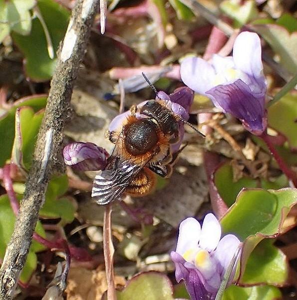 Gold-fringed Mason Bee