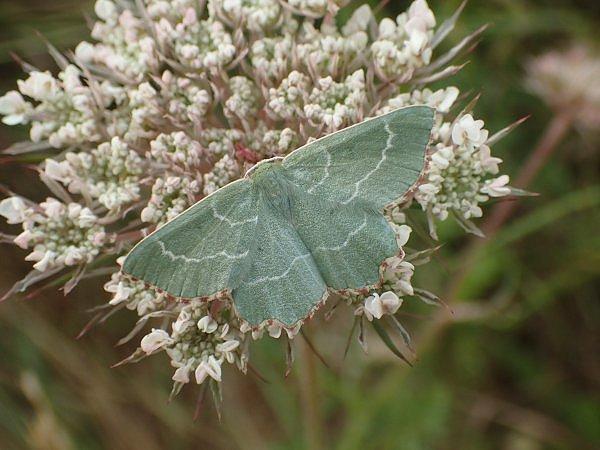 Return of the Sussex Emerald