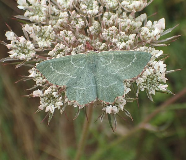 Sussex Emerald at Rye Harbour