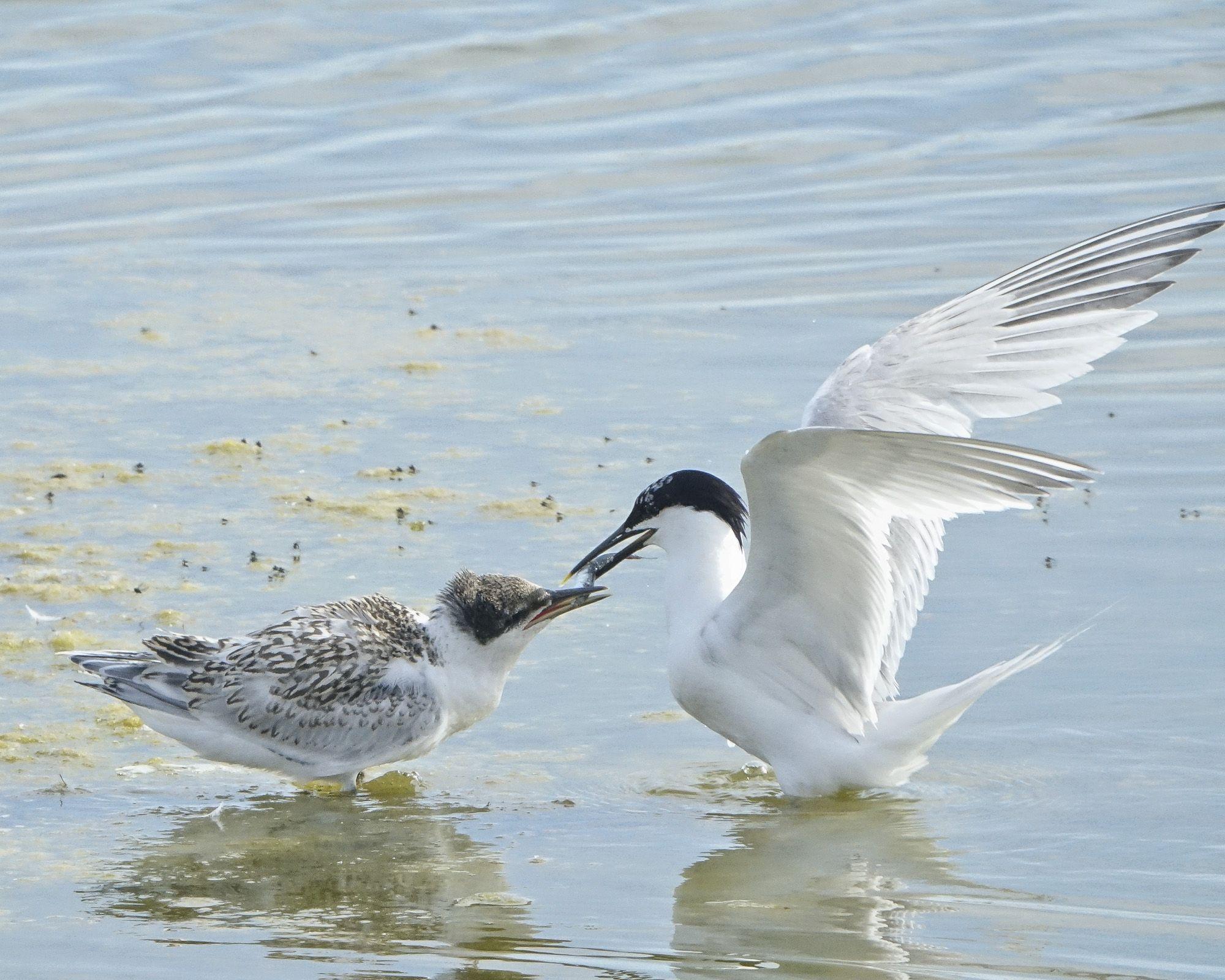 Sandwich tern feeding its chick 02543