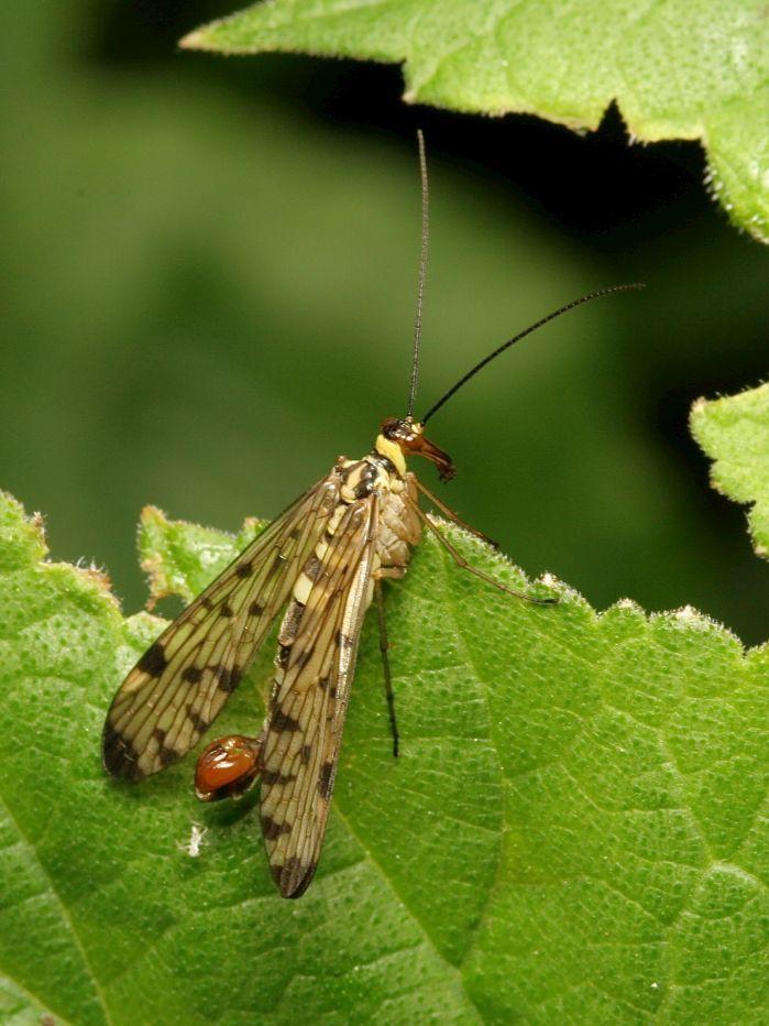 Scorpion Fly © Neil Fletcher