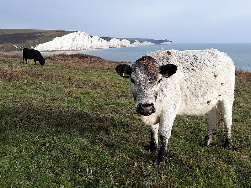 Cattle at Seaford Head