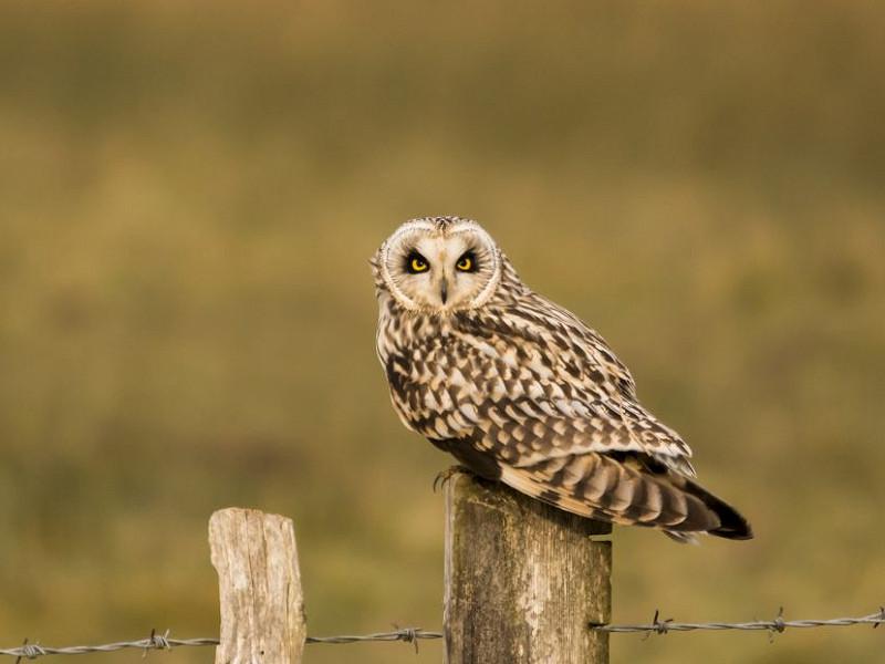 The nomadic Short-eared Owl