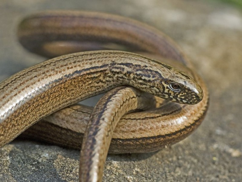 Species of the day: Slow-worm