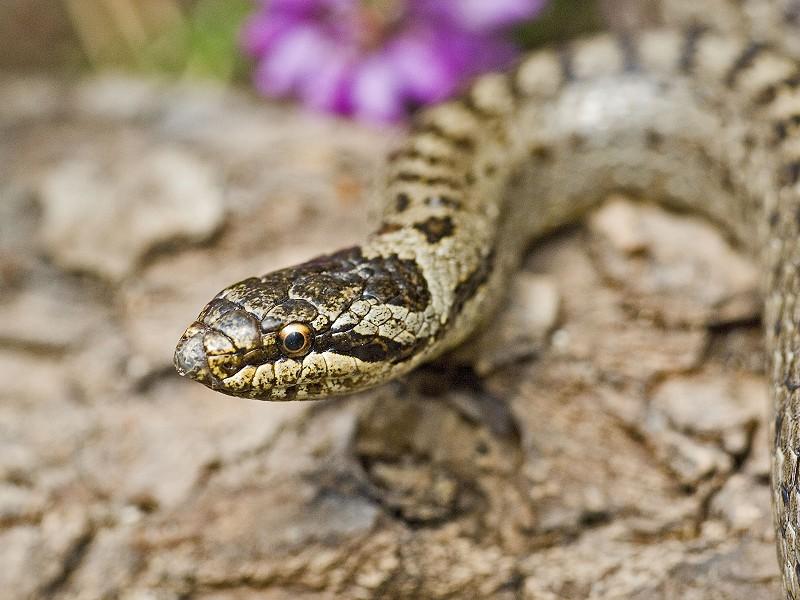 Britain's rarest reptile