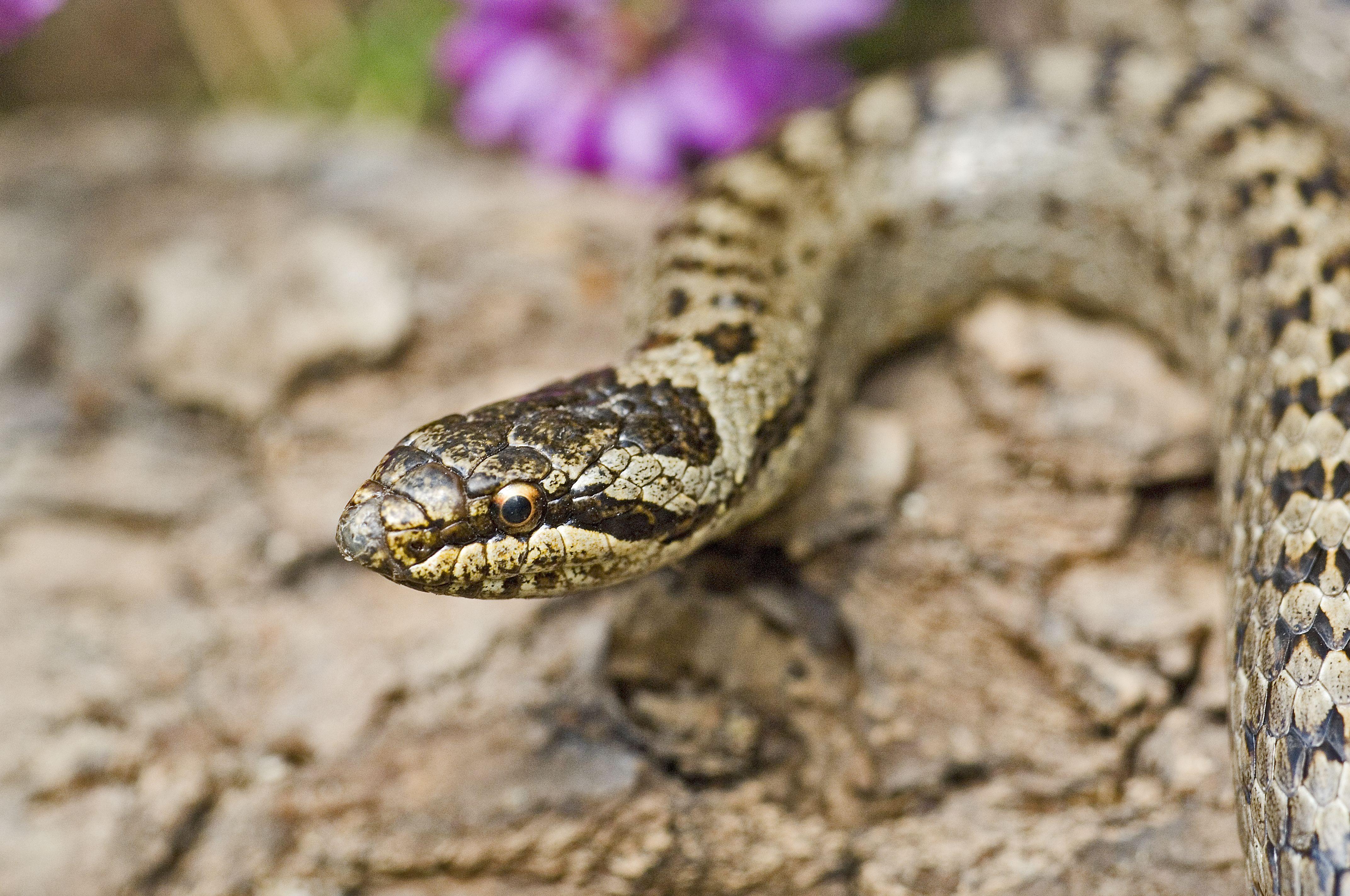 Smooth Snake Derek Middleton