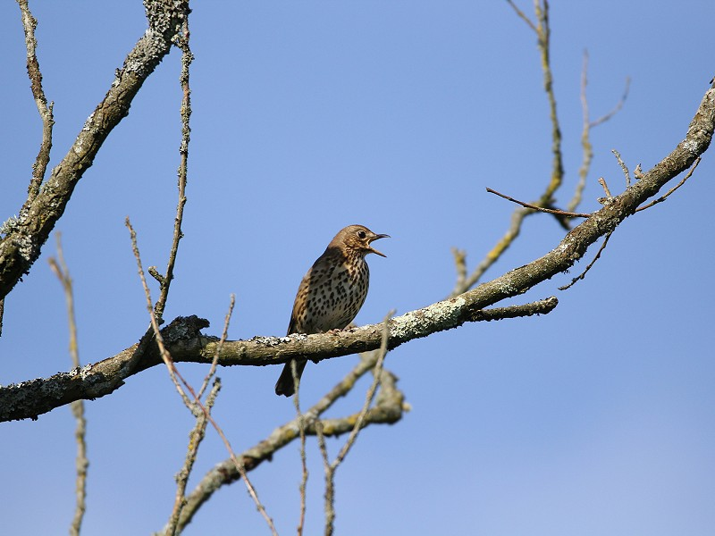 Species of the day: Song Thrush