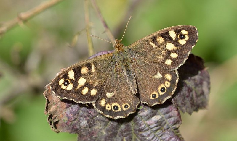 Species of the day: Speckled Wood