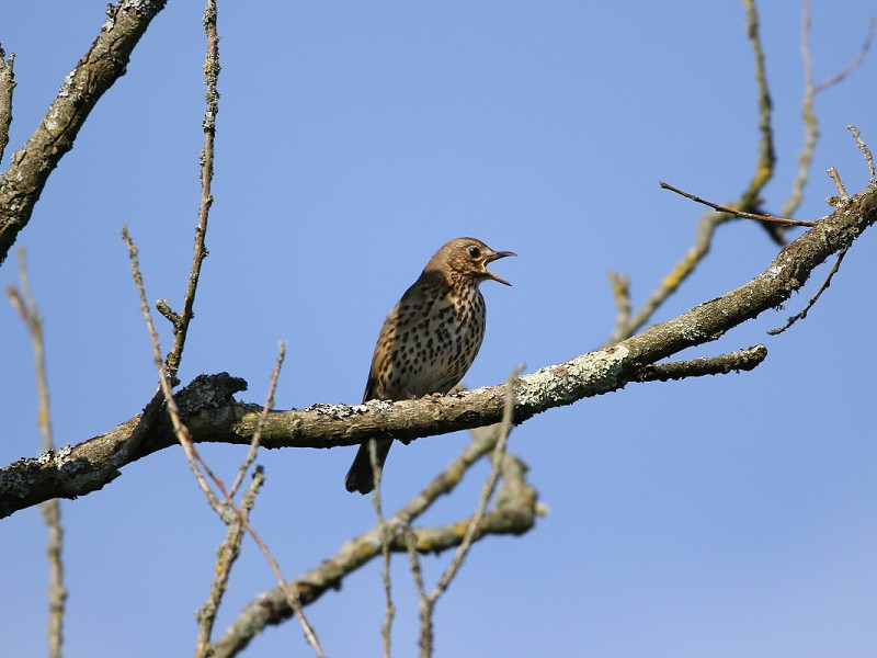 Song Thrush - Bird Song