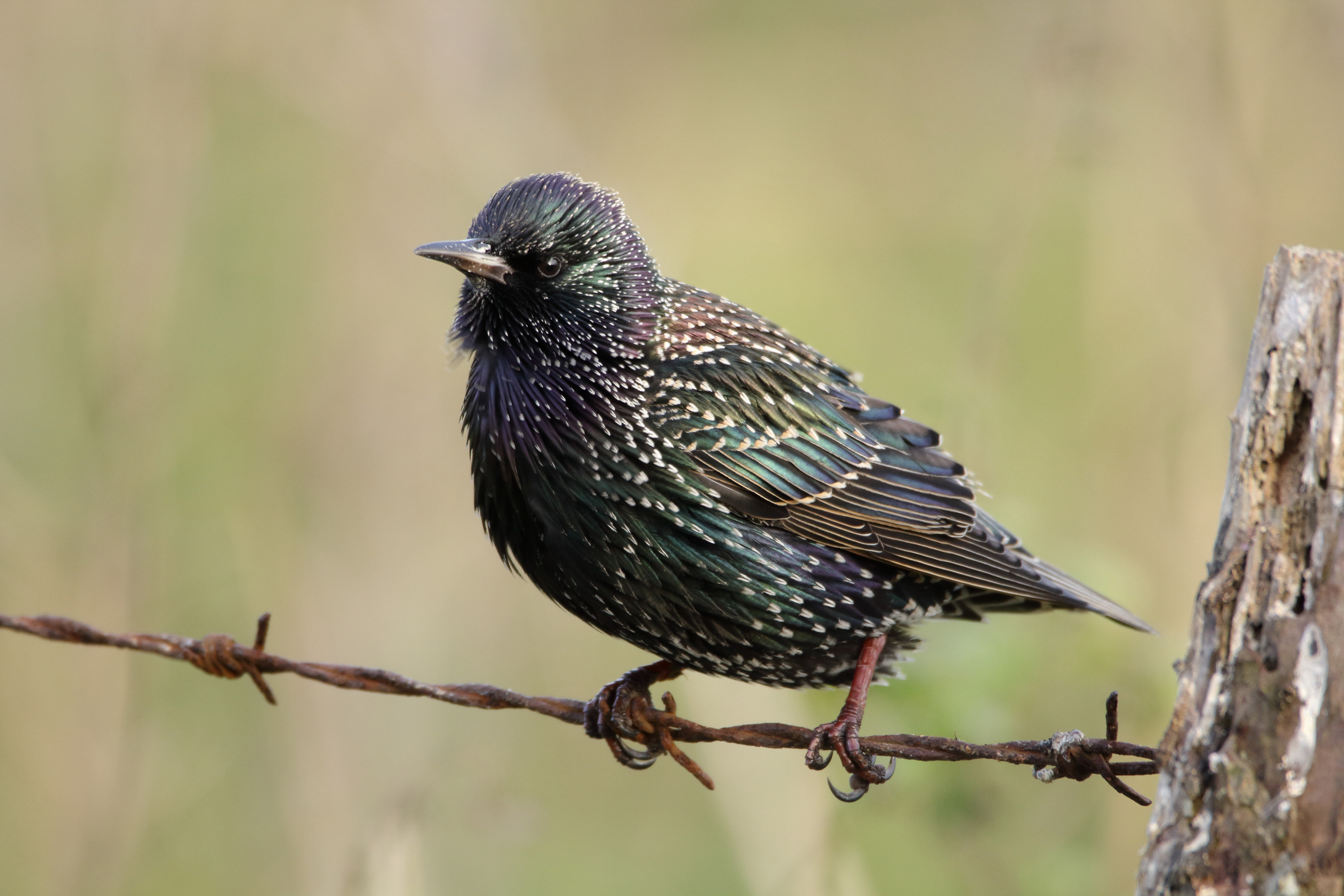 Starling2 800