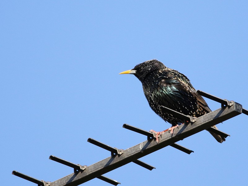 Species of the day: Starling