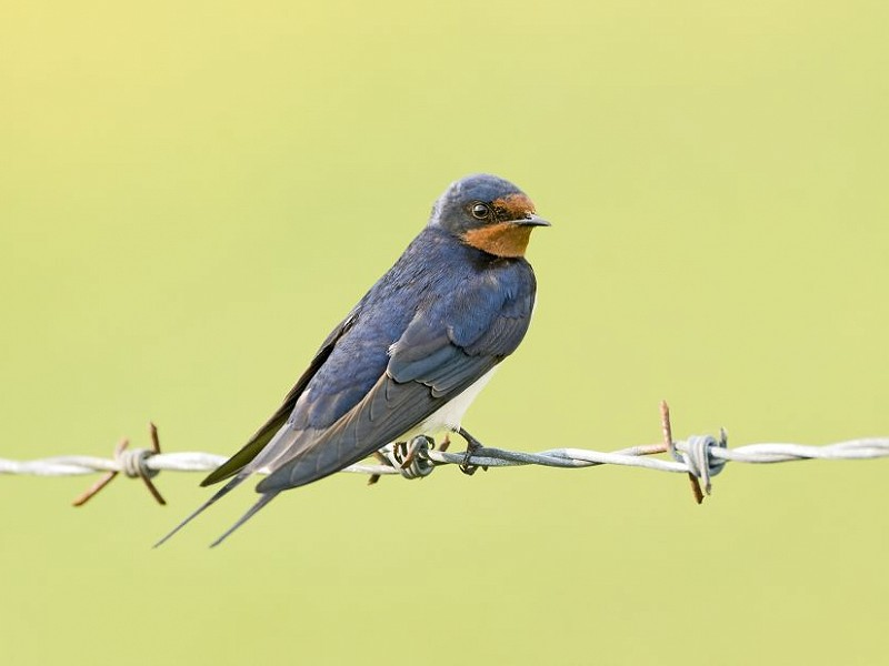 Species of the day: Swallow