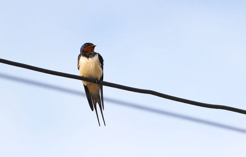 The amazing migration of swallows