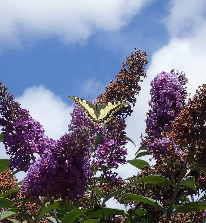 Swallowtail Diary