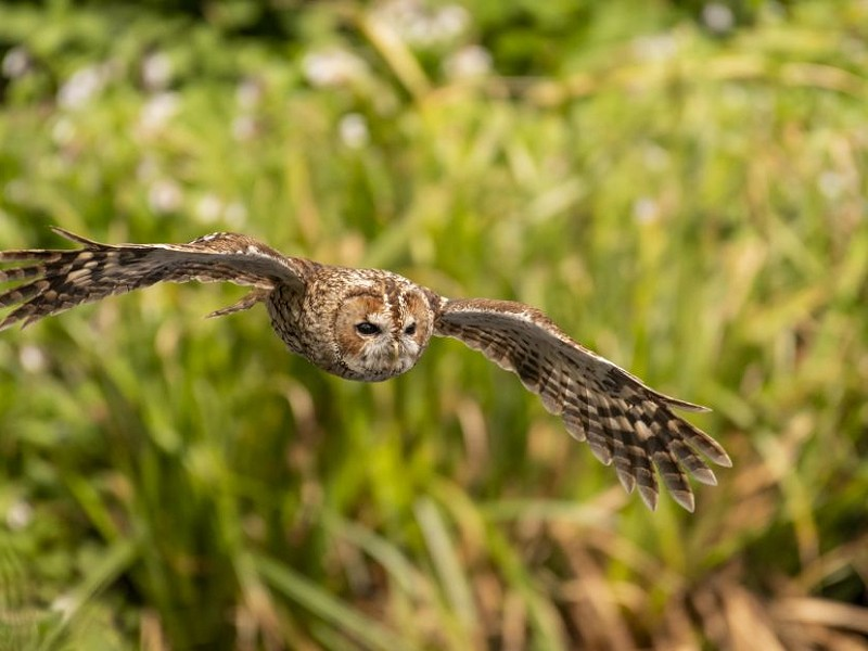 Silent and stealthy. The Tawny Owl