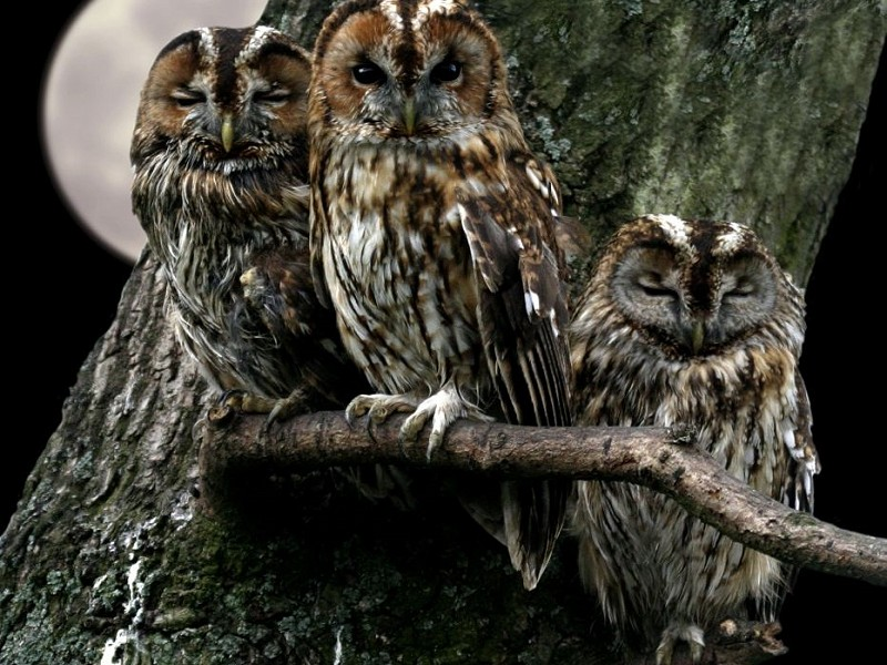 Tawny Owls become territorial
