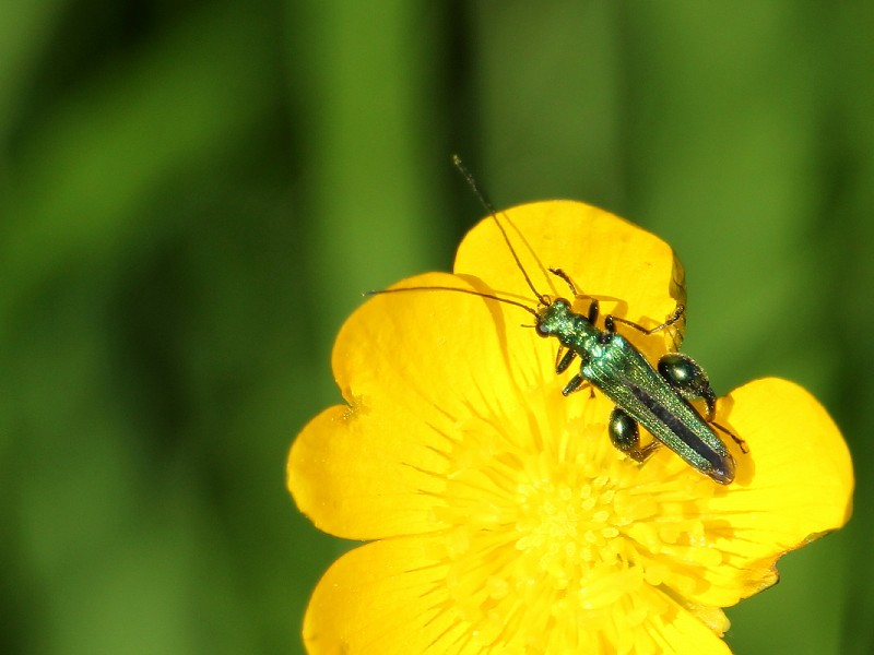 Species of the day: Thick-legged Flower Beetle