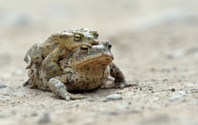 Species of the day: Common Toad
