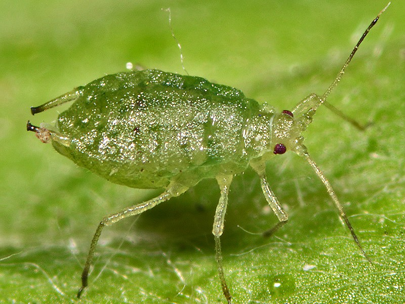 A New Aphid Species