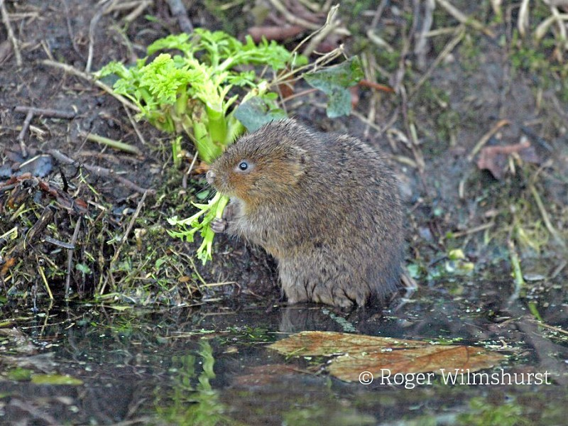 Ratty - or the Water Vole