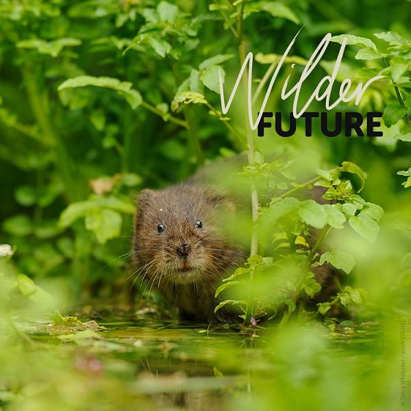 A Wilder Future for water voles?