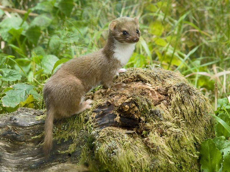 How do you tell the difference between a Stoat and a Weasel?