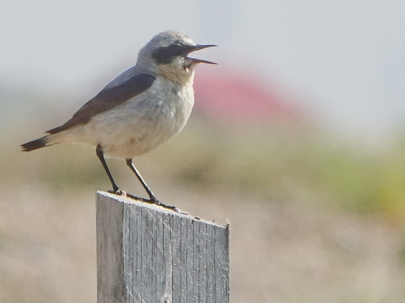 ​Wheatear at Rye Harbour