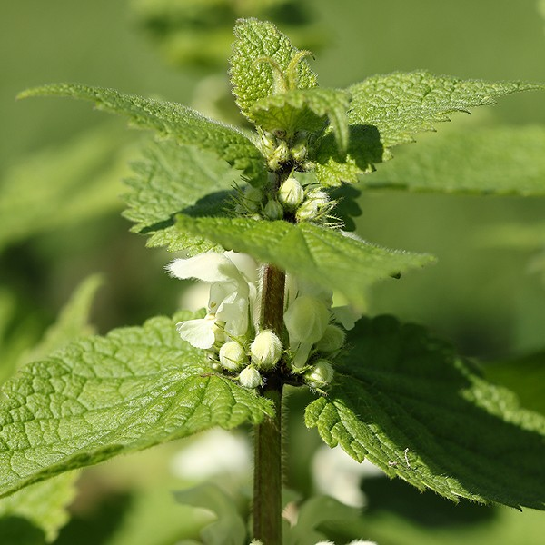Species of the day: White Dead-nettle