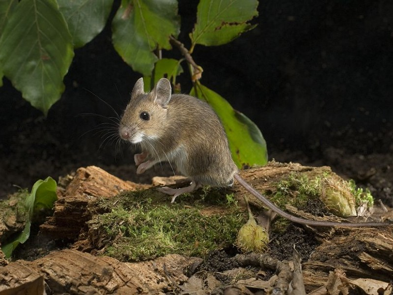 Species of the day: Wood Mouse
