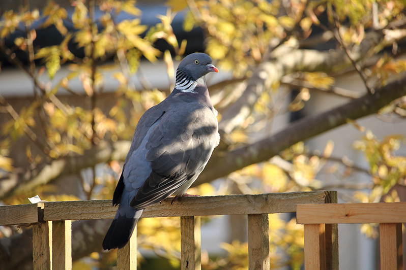 Species of the day: Wood Pigeon