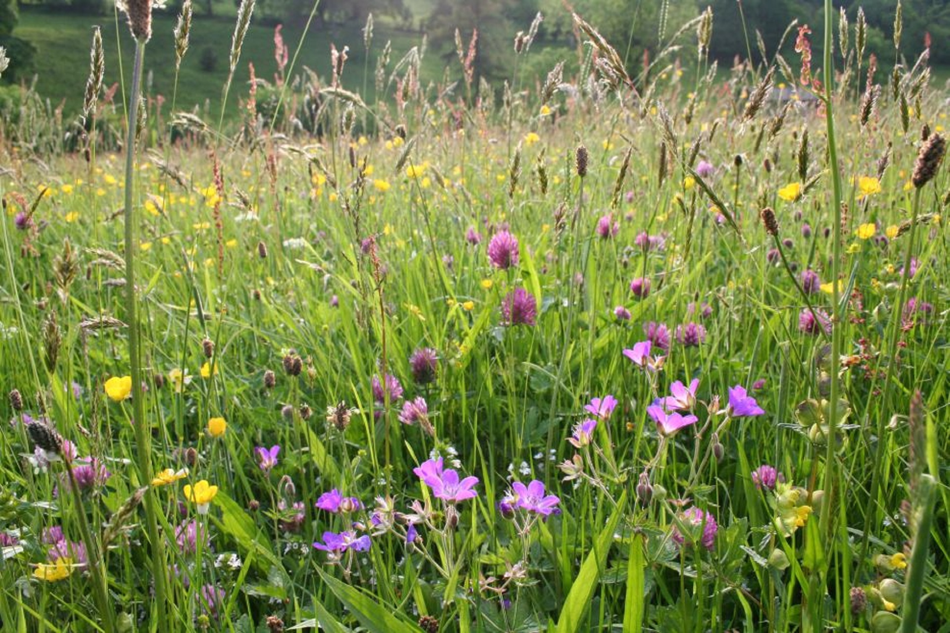 Can I Create A Wildflower Meadow On An Existing Lawn Sussex
