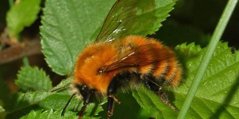 Identifying Bumblebees