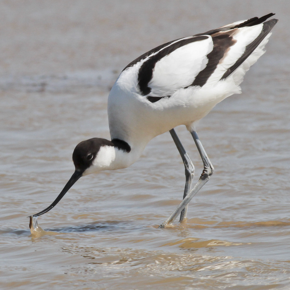Avocet feeding 4