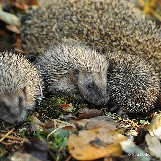 young hedgehogs © Miles Davies