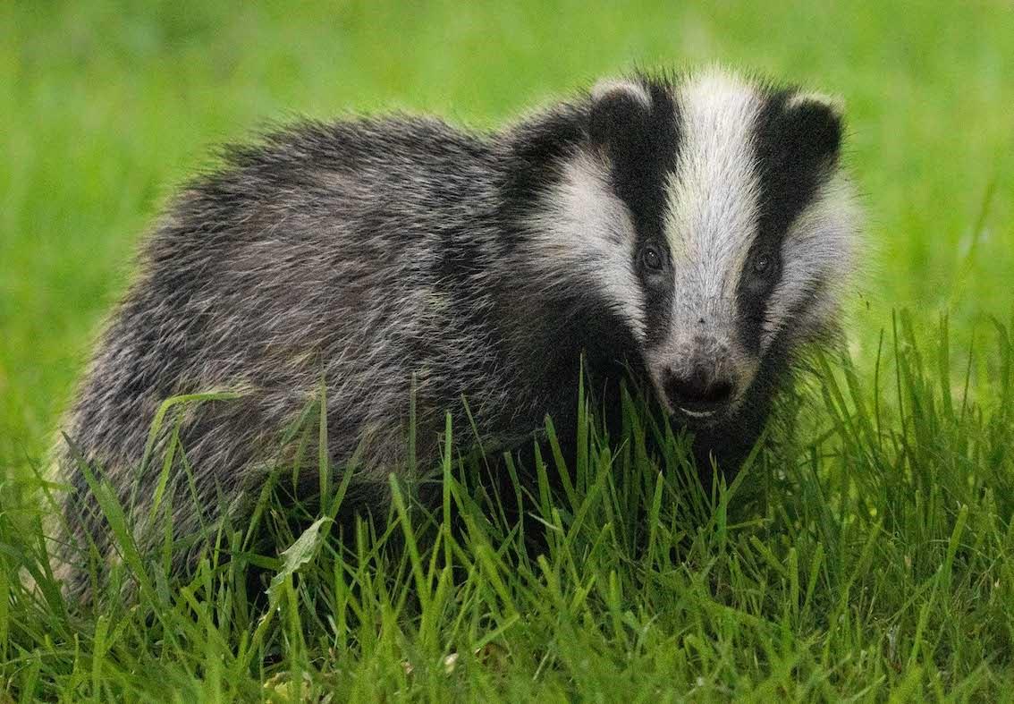 Badger NB