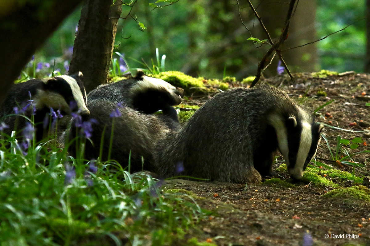 Badger davidphilips