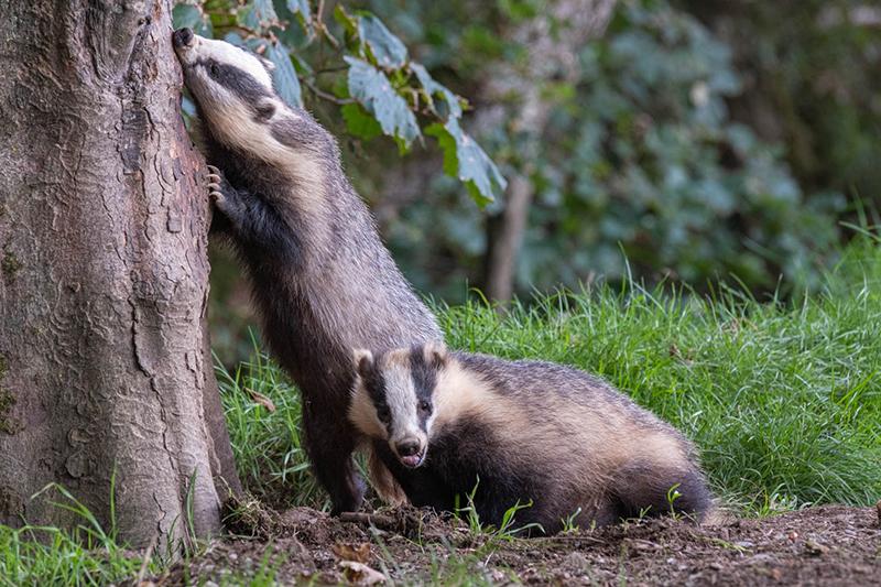 Badgers 6580
