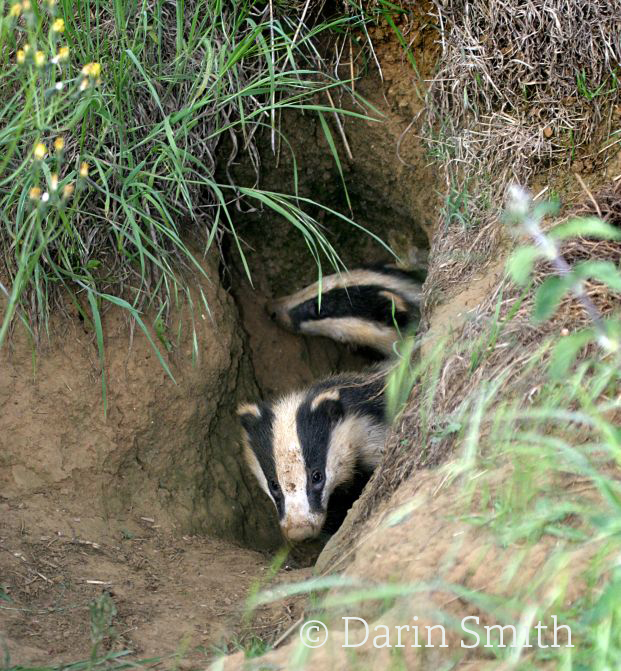 Badgers coming out of sett©Darin Smith www.wildstock.co.ukSussex Wildlife Trust
