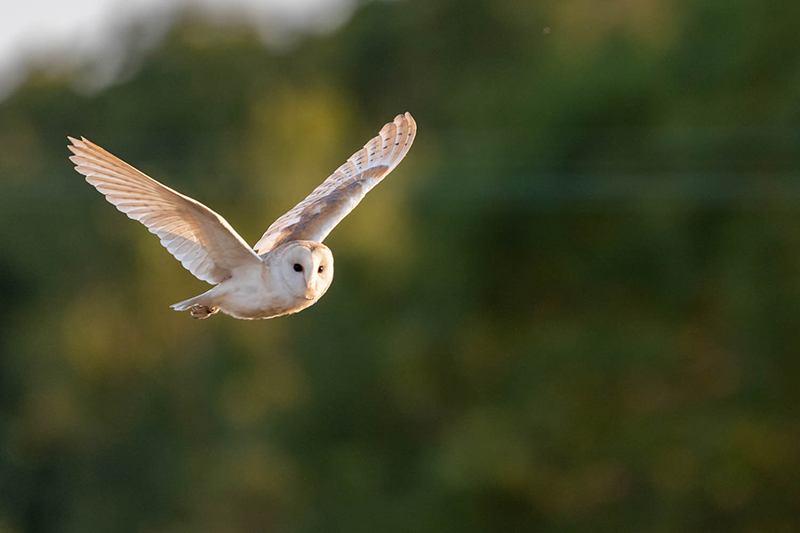 Barn owl 3103