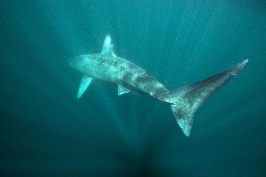 Baskign shark tail Alexander Mustard 2020VISION