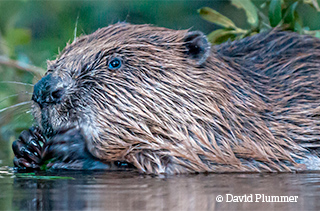 Beavers are back