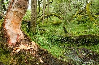 Beaver stump