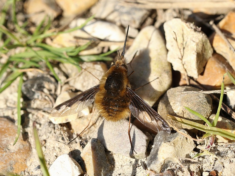 Species of the day: Bee-fly