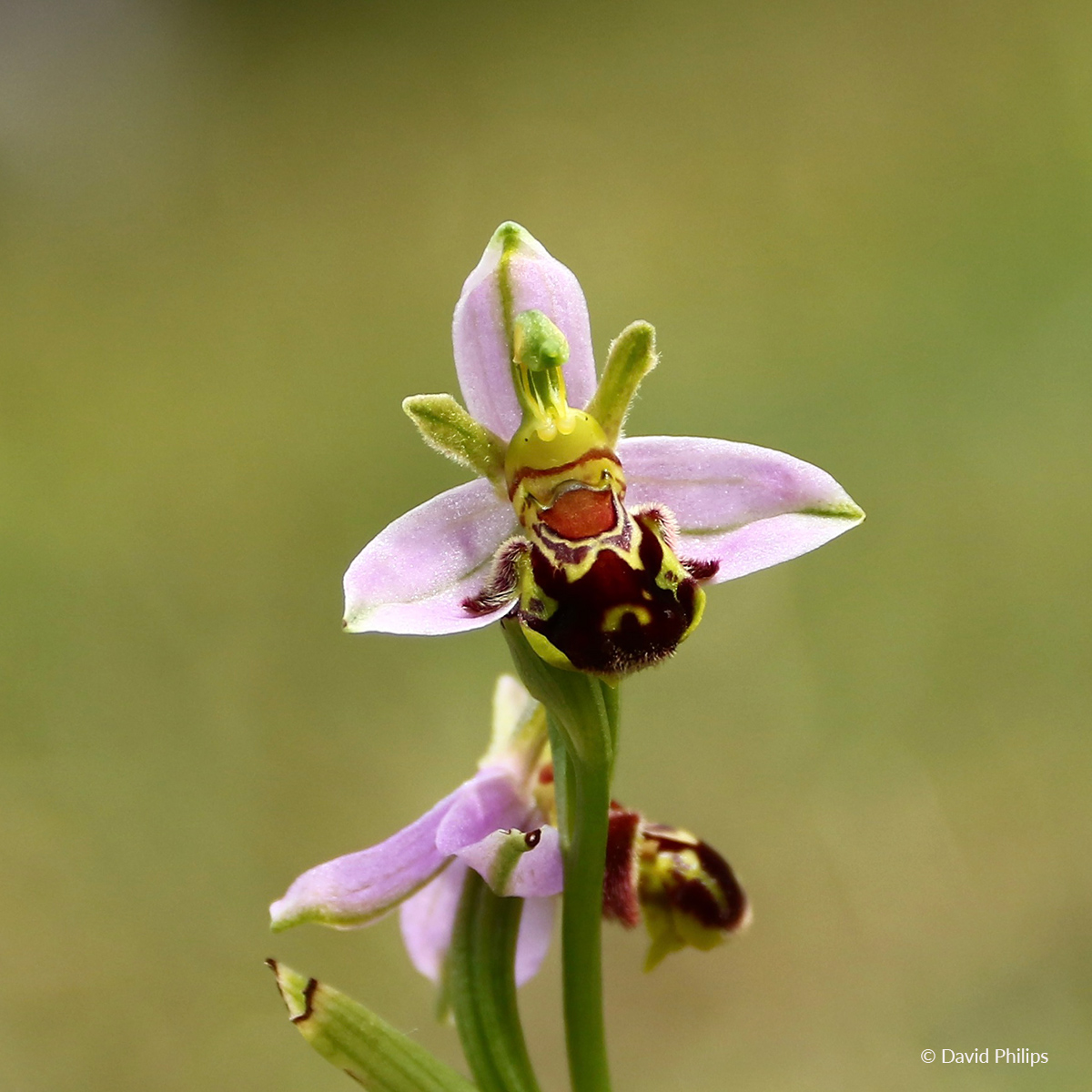 BeeOrchid DavidPhilips