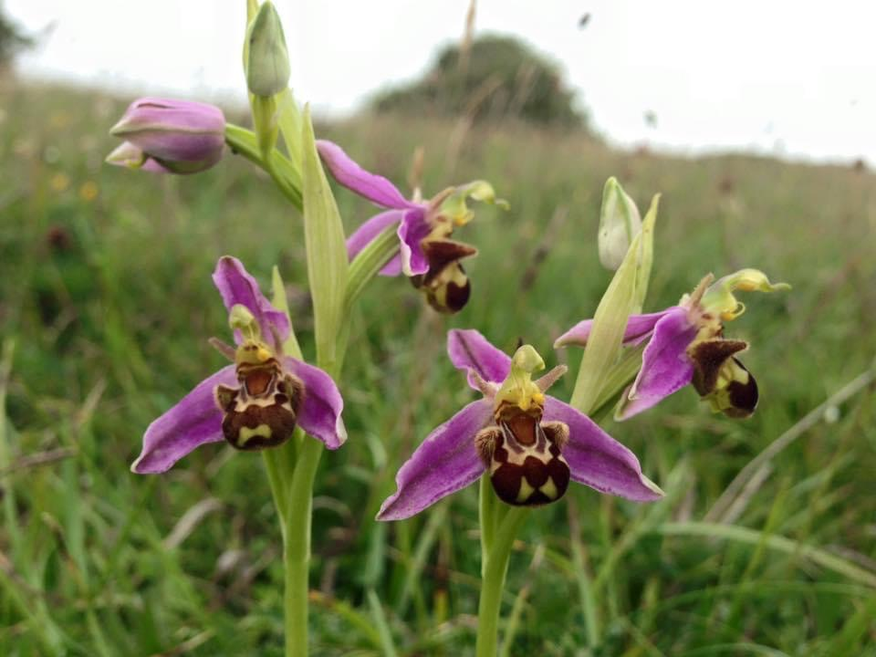 BeeOrchids