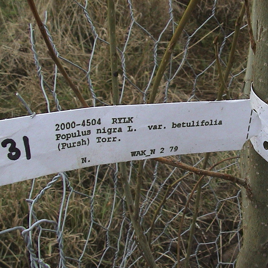 Black poplar  2